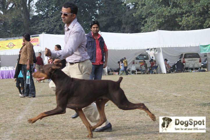 Doberman, Dehradun Dog Show, DogSpot.in