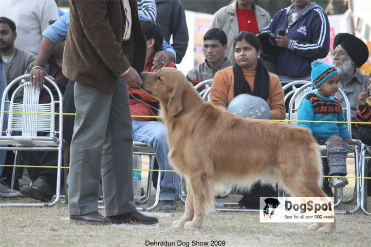 Golden Retriever,Goldrush Tripping the Rift,, Dehradun Dog Show, DogSpot.in