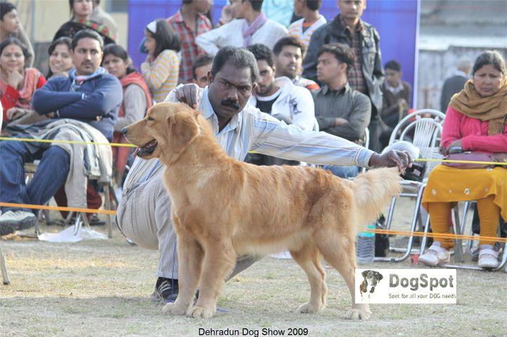 Gavin of DogMatix,Golden Retriever,, Dehradun Dog Show, DogSpot.in