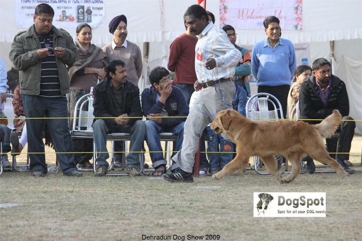 Gavin of DogMatix,Golden Retriever,, Dehradun Dog Show, DogSpot.in