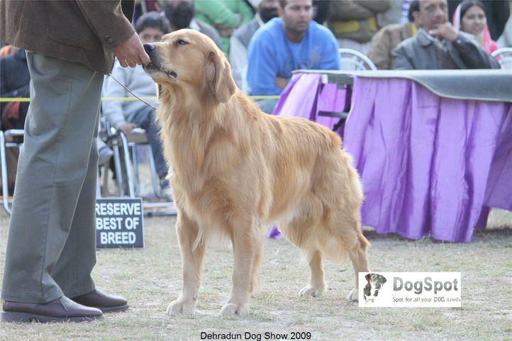 Golden Retriever,Goldrush Tripping the Rift,, Dehradun Dog Show, DogSpot.in