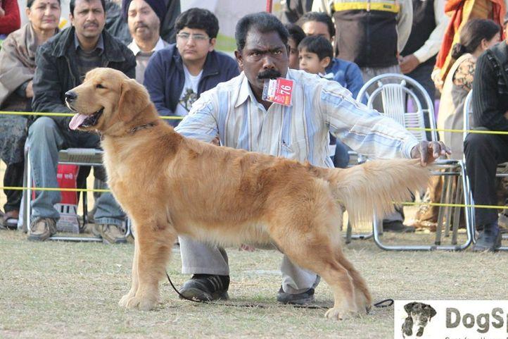 Golden Retriever,, Dehradun Dog Show, DogSpot.in