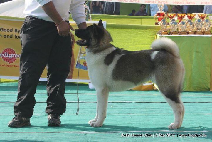 akita,ex-38,sw-67,, DAY DREAMS DREW, Akita, DogSpot.in