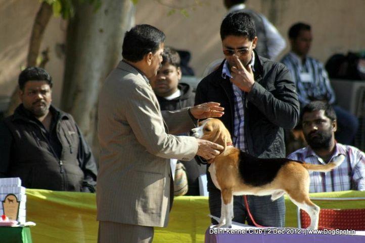 beagle,judging,sw-67,, Delhi Dog Show 2012, DogSpot.in
