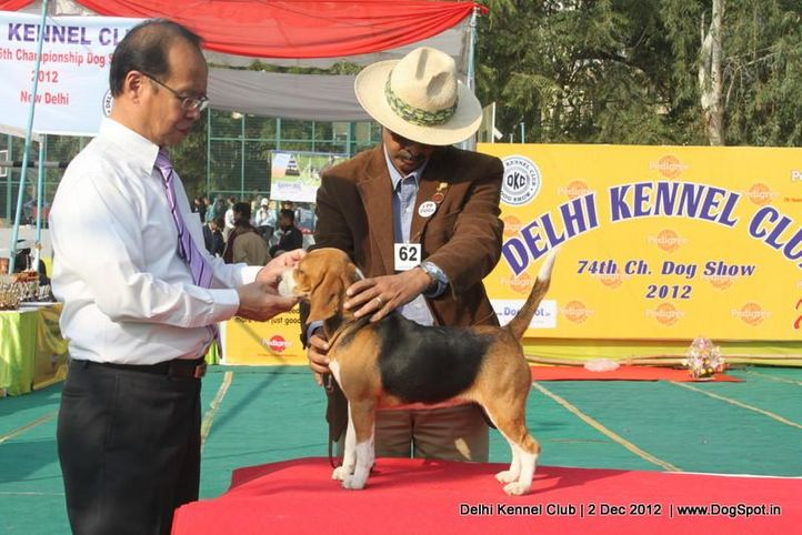 beagle,ex-62,judging,sw-67,, SUPER GIRL OF RUBSON, Beagle, DogSpot.in