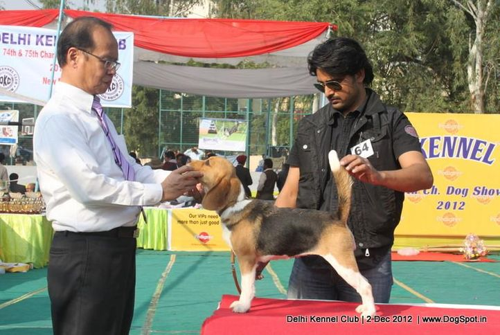 beagle,ex-64,judging,sw-67,, SPARK OF ZENITH, Beagle, DogSpot.in