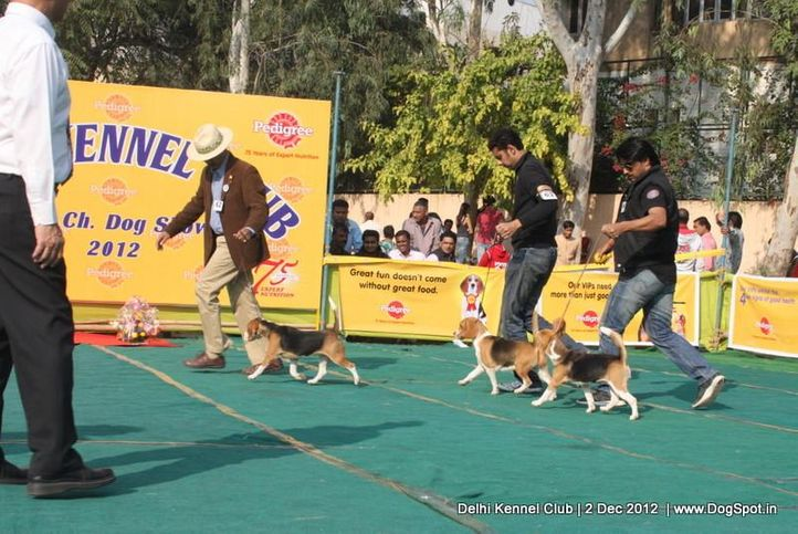 beagle,ex-62,sw-67,, SUPER GIRL OF RUBSON, Beagle, DogSpot.in