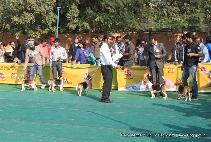 beagle,sw-67,, Delhi Dog Show 2012, DogSpot.in