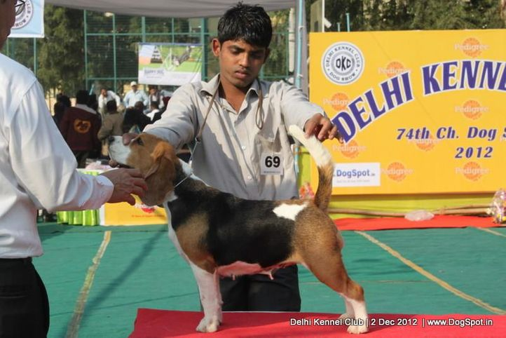 beagle,ex-69,sw-67,, BLUE BELL'S CALLIE, Beagle, DogSpot.in