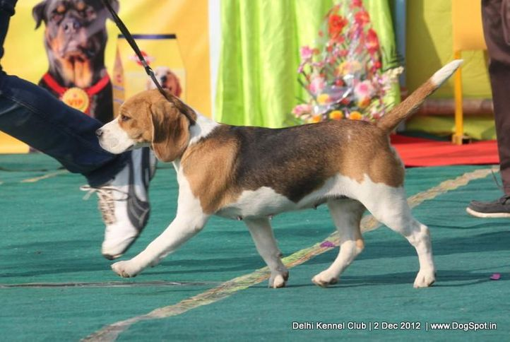 beagle,ex-68,sw-67,, YEOMAN'S BOOGIE WOOGIE, Beagle, DogSpot.in