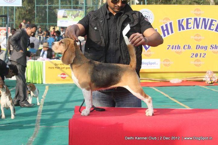 beagle,sw-67, Delhi Dog Show 2012, DogSpot.in