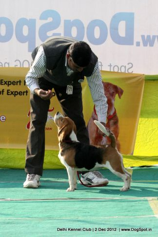 beagle,ex-71,sw-67,, IMPRESSION'S CHELSEA, Beagle, DogSpot.in