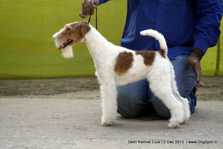 ex-34,fox terrier,sw-67,, FIERY FOX SAFARI, Fox Terrier- Weired Hair, DogSpot.in