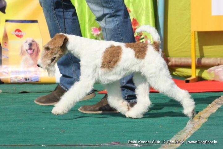ex-34,fox terrier,sw-67,, FIERY FOX SAFARI, Fox Terrier- Weired Hair, DogSpot.in