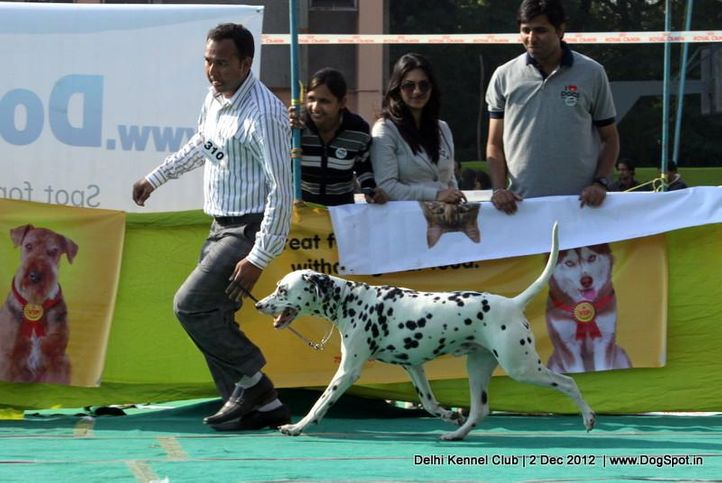 dalmatian,ex-310,sw-67,, Delhi Dog Show 2012, DogSpot.in