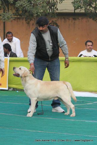 ex-300,labrador retriever,sw-67,, Delhi Dog Show 2012, DogSpot.in
