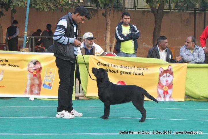 ex-301,labrador retriever,sw-67,, Delhi Dog Show 2012, DogSpot.in