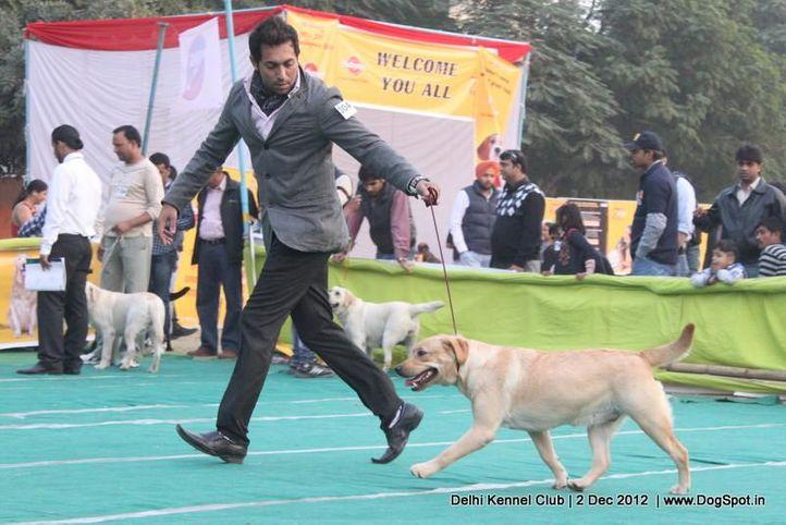 ex-304,labrador retriever,sw-67,, Delhi Dog Show 2012, DogSpot.in