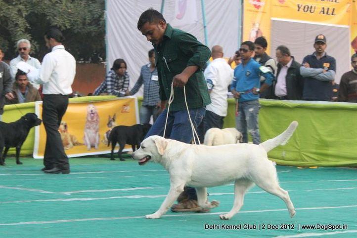 ex-122,labrador retriever,sw-67,, ENAKSHI'S WHITE LILY, Labrador Retriever, DogSpot.in