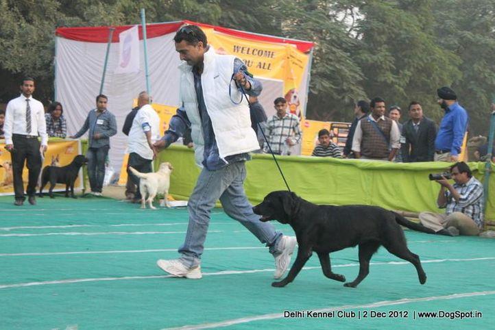 labrador retriever,sw-67,, Delhi Dog Show 2012, DogSpot.in