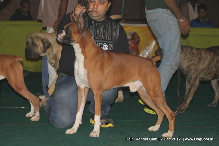 boxer,sw-67,, Delhi Dog Show 2012, DogSpot.in