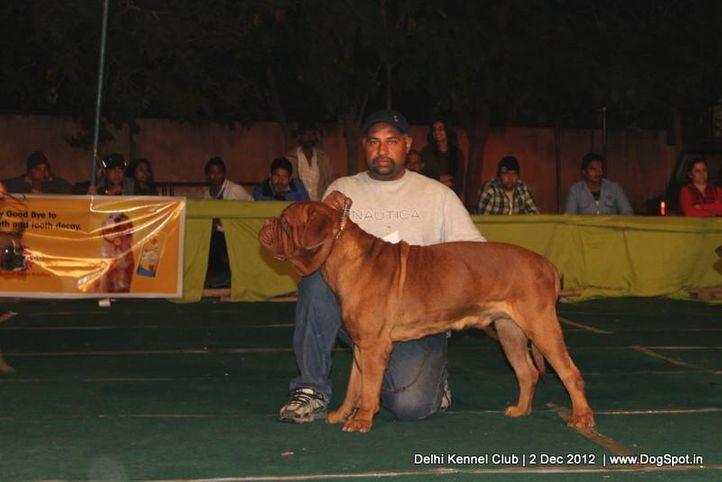 dogue de bordeaux,ex-181,sw-67,, CHIEF, Dogue De Bordeaux, DogSpot.in