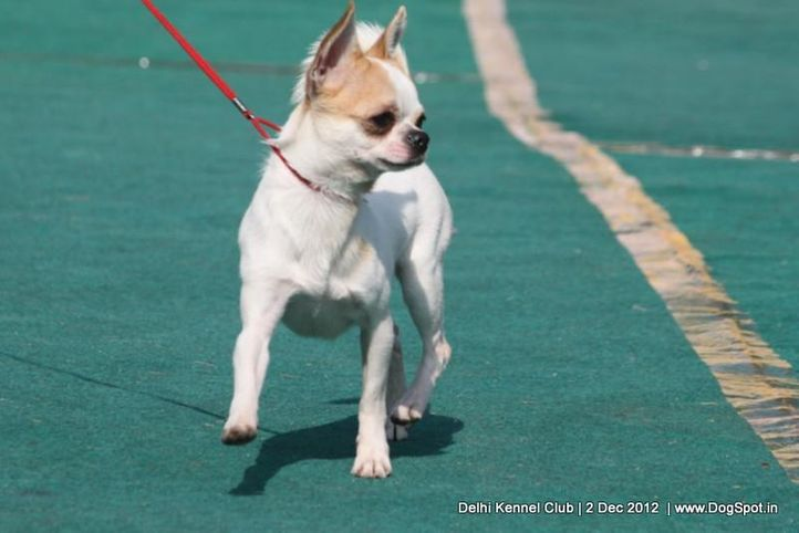 chihuahua,ex-2,sw-67,, TRICKEY THE DOUBLOON, Chihuahua (Smooth Coat), DogSpot.in