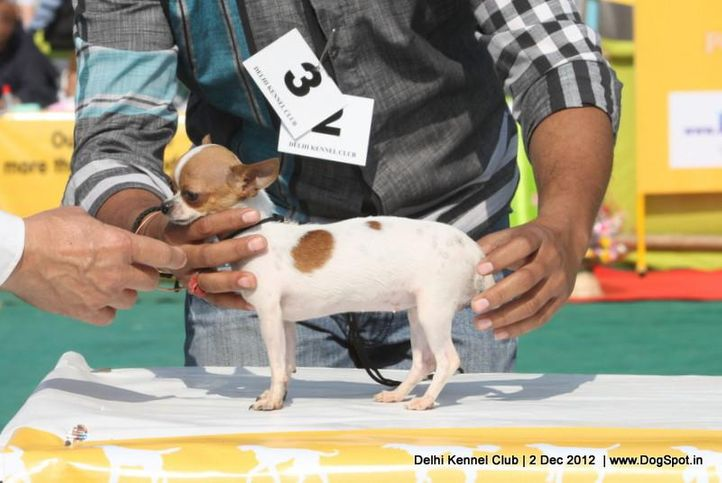chihuahua,ex-3,sw-67,, BALLY, Chihuahua (Smooth Coat), DogSpot.in