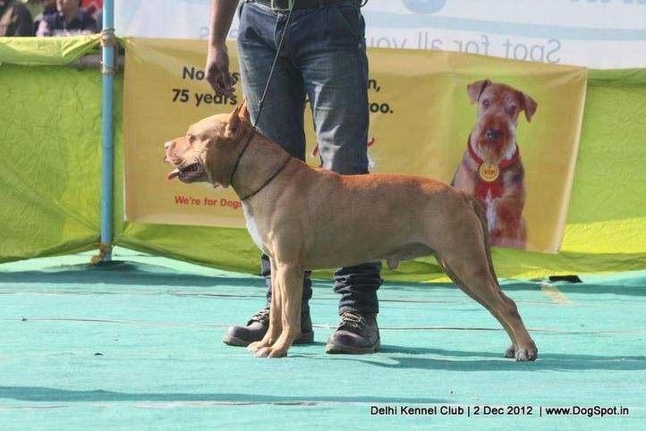 ex-37,pit bull terrier,sw-67,, ROCKY, Staffordshire Terrier, DogSpot.in