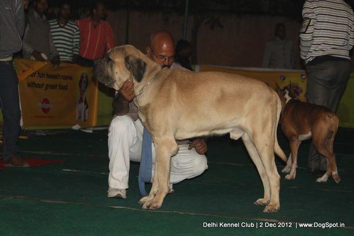 ex-212,mastiff,sw-67,, ZACK, Mastiff- English, DogSpot.in