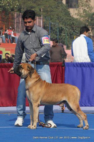 bull mastiff,ex-155,sw-79,, ROZER, Bullmastiff, DogSpot.in