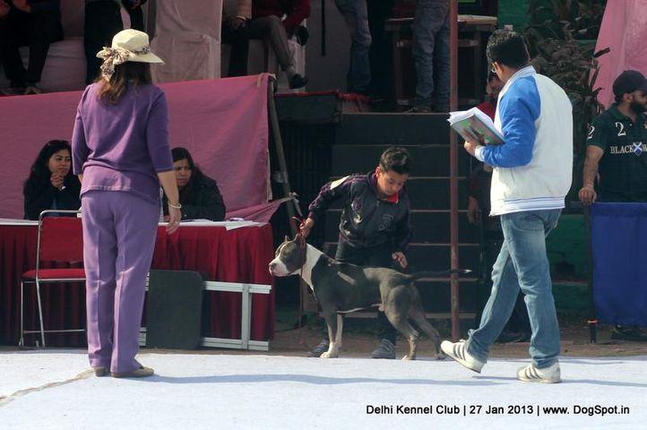 pit bull,sw-79,, Delhi Dog Show 2013, DogSpot.in