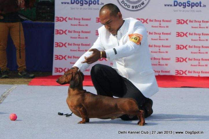 dachshund standard,ex-56,sw-79,, IND. CH. ZOO ZOO, Dachshund Standard- Smooth Haired, DogSpot.in