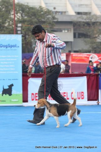 beagle,sw-79,, Delhi Dog Show 2013, DogSpot.in
