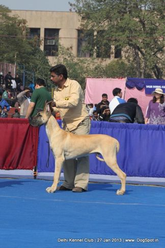 ex-180,great dane,sw-79,, THAKUR'S EVER SO CLEVER, Great Dane, DogSpot.in
