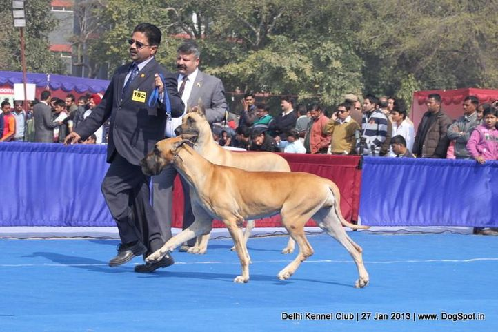 ex-182,great dane,sw-79,, RAODANES GOES WITH THE WIND, Great Dane, DogSpot.in