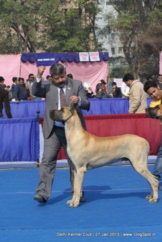 great dane,sw-79,, Delhi Dog Show 2013, DogSpot.in