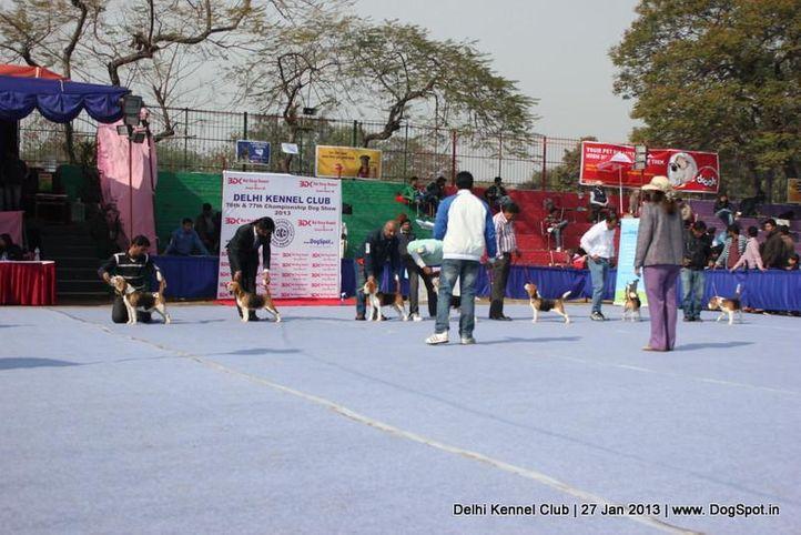 beagle,sw-79,, Delhi Dog Show 2013, DogSpot.in