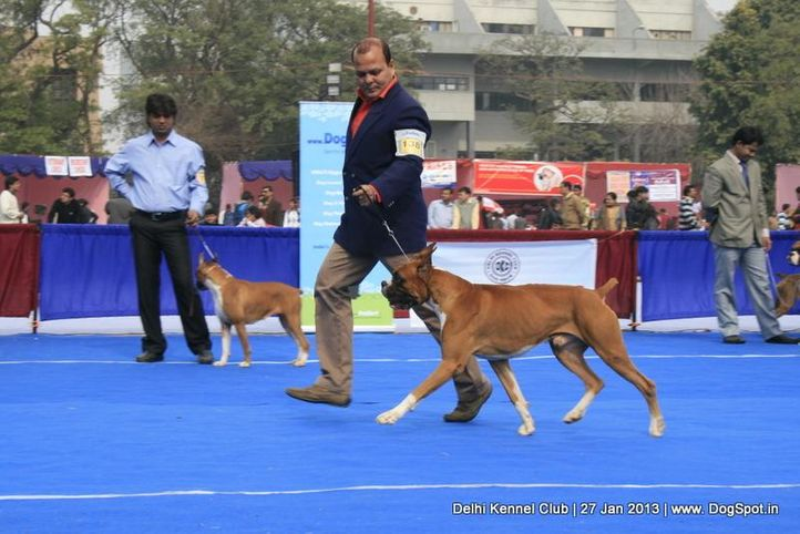 boxer,ex-138,sw-79,, WALGRE'S RED ROCK, Boxer, DogSpot.in