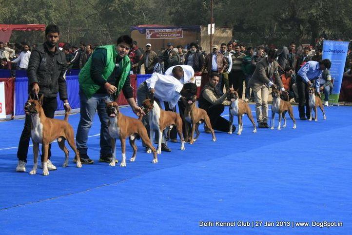 boxer,sw-79,, Delhi Dog Show 2013, DogSpot.in