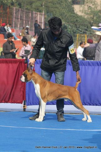 boxer,ex-151,sw-79,, RAVEN OF NEXT STEP, Boxer, DogSpot.in