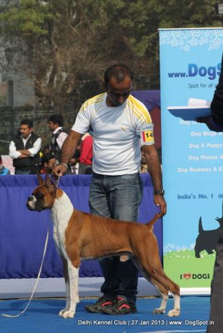 boxer,ex-148,sw-79,, NEXT STEP'S OUT OF CONTROL, Boxer, DogSpot.in