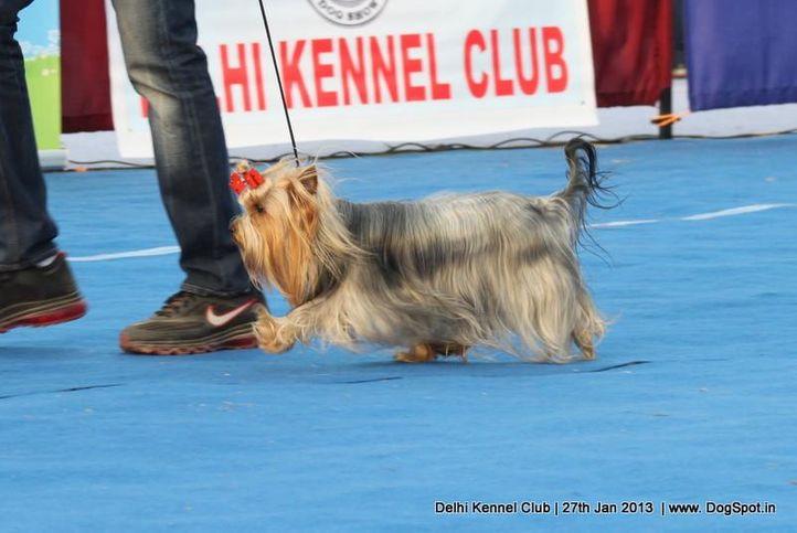 ex-33,sw-79,yorkshire,, FREDY MERCURY STRIBNE PRANI, Yorkshire Terrier, DogSpot.in