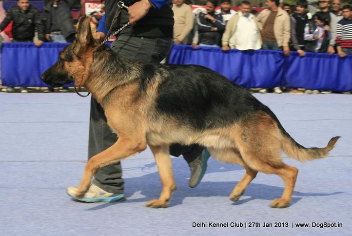 ex-242,german shepherd,sw-79,, JAMES BOND VON ATHABA, German Shepherd Dog, DogSpot.in