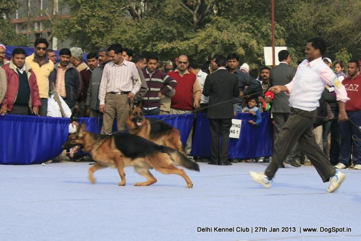 german shepherd,sw-79,, Delhi Dog Show 2013, DogSpot.in