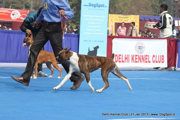 boxer,ex-146,sw-79,, NEXT STEP'S CHELSEA, Boxer, DogSpot.in