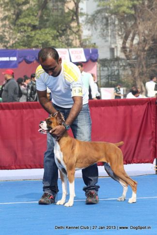boxer,ex-134,sw-79,, NEXT STEP'S TOFEE, Boxer, DogSpot.in