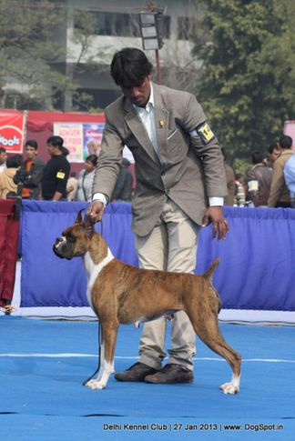 boxer,ex-142,sw-79,, WALGRE'S MYSTRY, Boxer, DogSpot.in