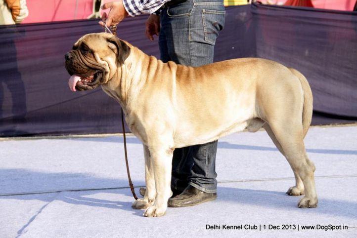 bullmastiff,ex-181,sw-98,, I BRAVI RAGAZZI JUST A GIGOLO, Bullmastiff, DogSpot.in
