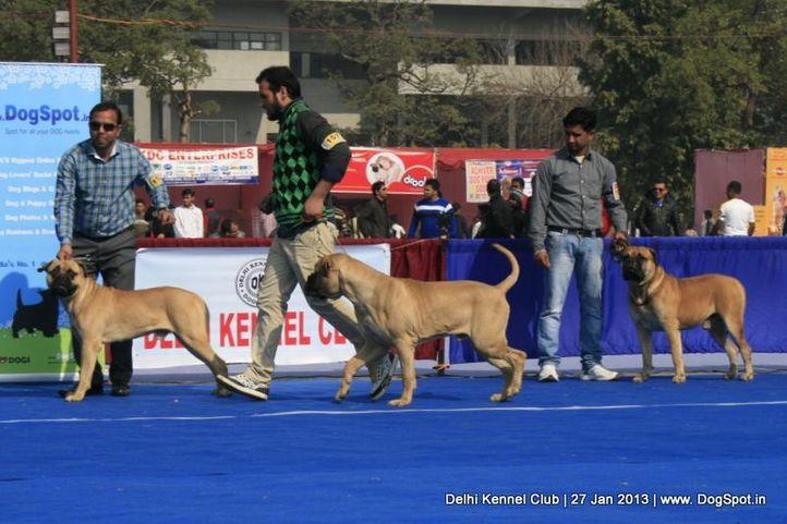 bull mastiff,sw-79,, Delhi Dog Show 2013, DogSpot.in